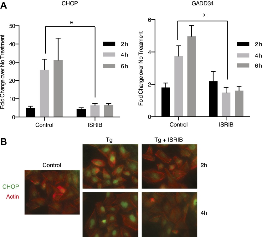 ISRIB impairs induction of the transcriptional network controlled by ATF4. ( A ) ER-Stress dependent induction of CHOP and GADD34 mRNA is impaired in cells treated with ISRIB. qPCR analysis of total RNA extracted from U2OS cells treated with 2 µg/ml of tunicamycin in the presence or absence of 200 nM ISRIB for the indicated times. mRNA levels for each sample were normalized to GAPDH (N = 4, mean ± SD). p values are derived from a one-tail Student's t-test for unpaired samples. Statistical significance: CHOP, *p=0.0006; GADD34, *p=0.0008. ( B ) ISRIB blocks CHOP production during ER stress. An immunofluorescence analysis of U2OS cells treated with 100 nM thapsigargin for 2 or 4 hr in the presence or absence of 200 nM ISRIB is shown. A secondary Alexa Dye 488 anti-mouse antibody and rhodamine-phalloidin were used to visualize CHOP and actin, respectively. DOI: http://dx.doi.org/10.7554/eLife.00498.013