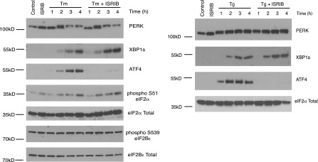 ISRIB does not inhibit eIF2α phosphorylation or XBP1s production. Western blot analysis of PERK, ATF4, XBP1s, phospho S51-eIF2α, total eIF2α, phospho S539-eIF2Bε and total eIF2Bε in HEK293T cells treated with or without 2 µg/ml of tunicamycin or 100 nM thapsigargin in the presence or absence of 200 nM ISRIB for the indicated times. DOI: http://dx.doi.org/10.7554/eLife.00498.006