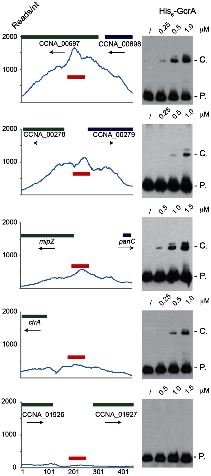 Electrophoresis mobility shift assay (EMSA) of 5 ChIP–Seq regions with His 6 -GcrA. EMSA results using increasing concentrations of purified GcrA using probes (red line) design in regions with high number of reads in ChIp-Seq results. From the top to the bottom: 1) the sequence with the maximum number of reads ChipSeq results, corresponding to the coding sequence of CCNA_00697; 2) the intergenic sequence between CCNA_00278 and CCNA_00279; 3) The promoter of mipZ ; 4) The promoter ctrA P1 of ctrA ; 5) A negative control, corresponding to the intergenic between CCNA_01926 and CCNA_01927. On the right, P. = Probe signal and C. = complex signal. Dissociation constants (Kd) of the positive probes are shown in Figure S9 .