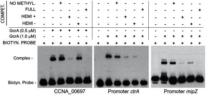 GcrA DNA binding depends on CcrM methylation state. Three regions (CCNA_0697, ctrA , mipZ ) containing methylation sites of CcrM were tested in a competition experiment. Competitor DNA identical to the probe with various methylation states was mixed with biotinylated probes and GcrA in order to evaluate competition. For CCNA_00697 we used 0.375 µM of competitors, while for ctrA and mipZ promoters we used 1.25 µM. Dissociation constants (Kd) of the methylated probes of ctrA and mipZ probes are shown in Figure S9 .