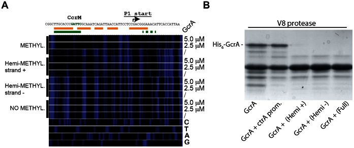 Binding of GcrA to DNA in different GAnTC methylation states and conformation al changes of GcrA induced by DNA. (A) DNase I footprinting of the ctrA P1 promoter by GcrA. The promoter region was tested in different methylation states with increasing concentrations of His 6 -GcrA. The nucleotide sequence of the ctrA P1 promoter with the start site and the CcrM methylation site (green)vis shown on top. In orange, the putative region, protected by GcrA in the fully methylated state. In green the putative region protected in the hemi-methylated strand plus. (B) Proteolytic digestion using V8 in presence of DNA. In particular 4 kinds of DNA corresponding to the ctrA P1 promoter were tested as reported in the bottom part.