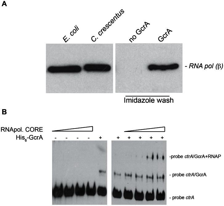 """GcrA interacts with RNA polymerase. (A) Immunoblots using RNAP β subunit antibodies on several samples. On the left cellular lysates of E. coli cells and C. crescentus cells, both positives to the antibodies. On the right, samples of C. crescentus CB15N cell lysate applied to the column containing His 6 -GcrA and subsequently washed with salt (up to 1 M) and imidazole in order to remove His 6 -GcrA and putative interactors. This procedure was done also with an empty column (""""No GcrA"""" lane). The nickel column loaded with His 6 -GcrA was used to detect the association of GcrA to RNA polymerase. (B) E. coli RNA polymerase core enzyme is able to bind the GcrA-DNA complex (promoter ctrA P1), as visualized by a slower migration rate as the amount of RNA polymerase increased. On the left the same RNA polymerase conditions were tested without GcrA."""
