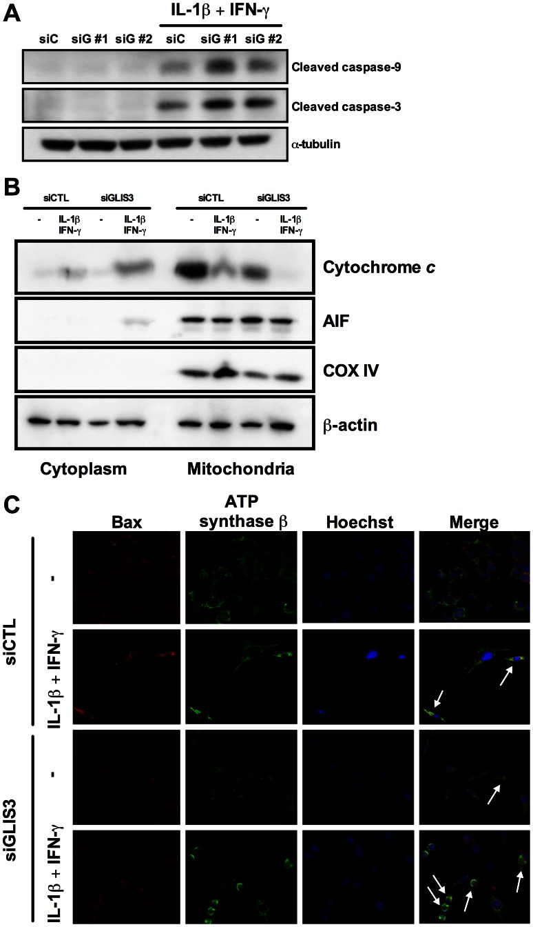 GLIS3 KD potentiates cytokine-induced beta cell death via the mitochondrial pathway of apoptosis. INS-1E cells were transfected with siCTL or siGLIS3 (siGLIS3#1 and #2) and then exposed or not to cytokines. After 24 h cells were used for immunoblotting or immunofluorescence analysis. (A) Cleaved caspases-9 and -3. Blots are representative of 4 independent experiments. α-Tubulin was used as a control for protein loading in the different lanes; (B) cytochrome c release from the mitochondria to the cytosol. Blots are representative of 4 independent experiments. AIF and COX IV are used as mitochondrial markers, confirming adequate sub-cellular fractionation; (C) BAX localization was studied by immunocytochemistry. Nuclear morphology is shown by Hoechst staining. Arrows indicate BAX co-localization with ATP synthase β (mitochondrial marker). Images are representative of 4 independent experiments.