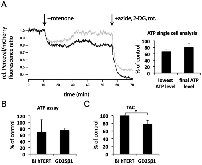 Measurements of intracellular <t>ATP</t> and antioxidant capacity. ( A ) Confocal microscopy recordings of ATP in single cells. GD25β1 cells were transfected with <t>Perceval</t> and prepared as described in Material and Methods. The traces are representative recordings of two cells. The addition of 1 µM rotenone and the subsequent treatment with a combination of rotenone, sodium azide and the glycolysis inhibitor 2-deoxy-D-glucose (2-DG) to maximally reduce ATP levels are indicated by the arrows. Quantifications from 8 cells are shown to the right. The bars show means of the lowest ATP level during treatment with rotenone alone and the ATP level just before addition of the inhibitor combination. ( B ) ATP levels of serum-starved BJ hTERT and GD25β1 cells after 45 min treatment with rotenone as determined by a colorimetric ATP assay performed described in Materials and Methods . n = 2. ( C ) Total antioxidant capacity (TAC) of serum-starved BJ hTERT and GD25β1 cells as determined by a colorimetric TAC assay described in Materials and Methods . The results are expressed as Trolox equivalents and were normalized to BJ hTERT cells in order to be able to compare the two cell lines with each other. n = 3. All error bars in Fig. 5 represent standard deviation, * p