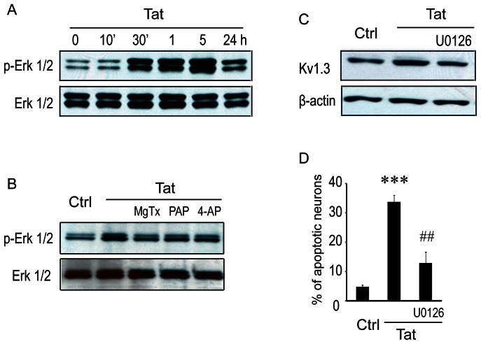 Involvement of ERK1/2 <t>MAPK</t> pathway in Tat-mediated upregulation of K V 1.3 expression. A : Western blot analysis for ERK1/2 MAPK. Microglia were exposed to 200 ng/ml of Tat and harvested at indicated times. Protein expression was analyzed by immunoblot using antibodies against ERK1/2 phosphorylation <t>(pERK1/2)</t> and total ERK1/2 (ERK1/2) MAPK. Tat up-regulated pERK1/2 MAPK in a time window from 30 min to 5 hr. B : K v channel antagonists inhibit ERK1/2 MAPK phosphorylation. Microglia were treated with MgTx (5 nM), PAP (10 nM), or 4-AP (1 mM) for 30 min followed by Tat at 200 ng/ml for additional 5 hr. Gel blots reveal a reduction of Tat-induced ERK1/2 phosphorylation in microglia treated with MgTx, PAP, or 4-AP, indicating a link between K v 1.3 channel activation and ERK1/2 MAPK signal pathway. C : Western blot results showing that the blockade of Tat enhancement of K v 1.3 expression in microglia was blocked by U0126, an inhibitor for MEK1 and MEK 2, further demonstrating the link between ERK1/2 MAPK and Tat-induced increase of K v 1.3 expression. D : TUNEL staining exhibited a significant increase of neuronal apoptosis induced by the supernatants collected from Tat-treated microglia and its blockade by U0126, a MEK1 and MEK2 inhibitor. Data were from three independent experiments. *** p