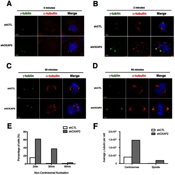 CKAP2 is required for anchoring of centrosome-nucleated microtubules to the spindle pole. (A) Nucleation was assessed after treating cells with 10 µg/ml nocodazole for 30 minutes and released into fresh media for 2, 30, and 60 minutes. shCTL and CKAP2-depleted cells were co-immunostained with γ-tubulin (green), Tyr-tubulin (red), and merged with DAPI (blue). (B) Two minutes post-nocodazole release, a cage-like structure was often observed in CKAP2-depleted cells. Representative images for each experimental group are shown. (C) Thirty minutes post-nocodazole release, microtubules are tethered at distinct poles, often with an increase cells with multipolar spindle poles in CKAP2-depleted cells. Representative images for each experimental group are shown. (D) Sixty minutes post nocodazole block, both the control and CKAP2-depleted cells have structured bipolar assembly. Representative images for each experimental group are shown. (E) Quantification of the shCTL cells with non-centrosomal α-tubulin staining at 2, 30, and 60 minutes is shown. Approximately 50 cells were counted per condition. (F) Measurements of the total γ-tubulin in both the centrosomes and the spindle pole area for CKAP2-depleted cells and controls. Y-axis indicates signal intensity units for γ-tubulin.