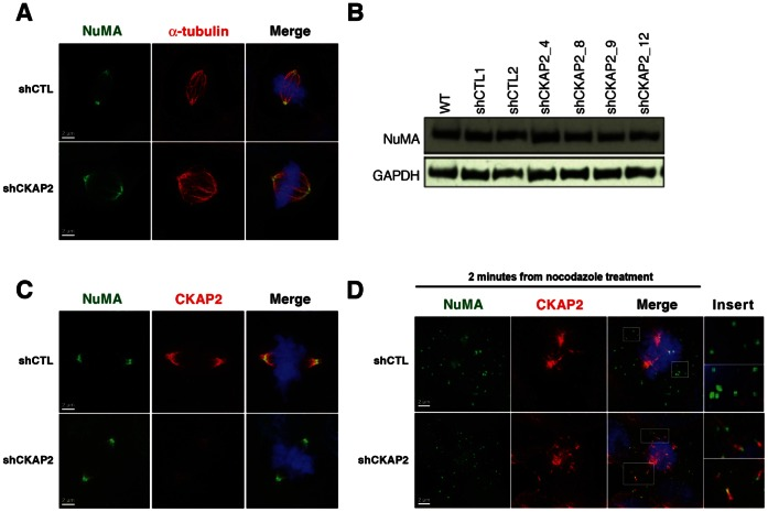 NuMA expression and localization is not affected by CKAP2-depletion. (A) shCTL and shCKAP2 transfected cells were co-immunostained with NuMA (green) and α-tubulin (red), and merged with DAPI (blue). The expression of NuMA was confined to the spindle pole. Representative metaphase images show that the localization of NuMA remains intact. (B) Immunoblot analysis with antibodies specific for NuMA and GAPDH showed that the amount of NuMA protein was maintained despite the silencing of CKAP2. (C) shCTL and CKAP2-depleted cells were co-immunostained with NuMA (green), CKAP2 (red), and merged with DAPI (blue) showing only partial overlay between the two protein although they both are located at the spindle pole. (D) shCTL and CKAP2-depleted cells were synchronized with nocodazole, and after two minutes post release cells were co-immunostained with NuMA (green) and α-tubulin (red). Co-localization of NuMA and α-tubulin is shown in the cage-like structures in CKAP2-depleted cells, but not in control cells.