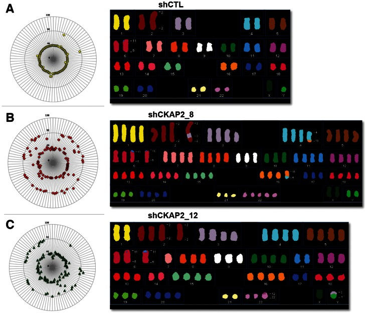 <t>CKAP2</t> plays a role in maintaining chromosome stability. (A–C) Mitotic cells were treated with colcemid in order to obtain metaphase spreads. Chromosome content was determined by counting the individual chromosomes in at least 100 metaphases. The results are presented as radial plots, where the concentric circle represents the relative ploidy and each symbol represents an individual cell. In parallel, here indicated are karyotypes analyzed by SKY showing the increased level of aneuploidy and chromosome instability in CKAP2-depleted cells.