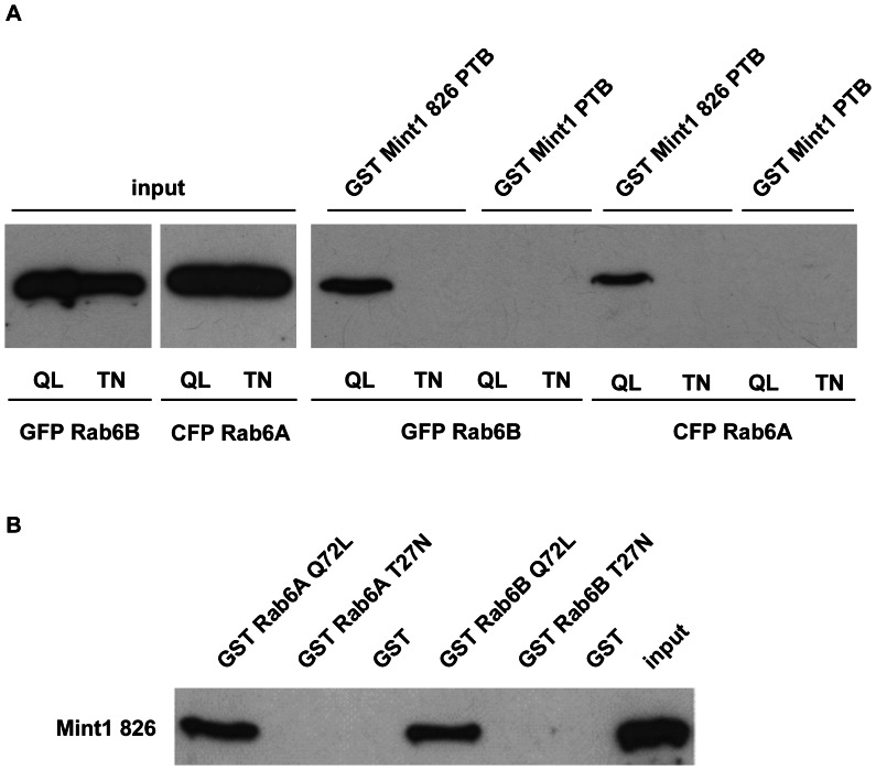 Verification of the interaction between Mint1 826 and Rab6 isoforms using GST pulldown experiments. 10 µl of Glutathione Sepharose™ 4B beads were coated with GST or the denoted GST fusion protein and then incubated with the designated prey protein. Samples were analyzed by Western blotting using an anti-GFP (a) or anti-Mint1 (b) antibody. QL: constitutively active variant (Q72L), TN: inactive variant (T27N). A) 5 µg of the GST Mint 1 fusion proteins were incubated with lysates of stably transfected HeLa T-REx™ cells overexpressing Rab6 GFP or CFP fusion proteins (20×input) for 1.5 h at 4°C. B) 1 µg of the GST Rab6 fusion protein was incubated with 300 ng of Mint 826 for 1 h at 4°C. Mint1 826 was isolated from thrombin cleaved bacterially expressed GST Mint1 826. input: 50 ng Mint1 826.