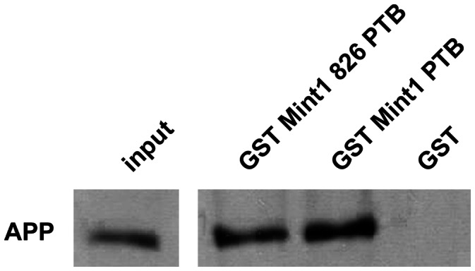 Verification of the interaction between Mint1 826 and APP. 10 µl of Glutathione Sepharose™ 4B beads were coated with 5 µg of GST or the denoted GST Mint1 fusion proteins and then incubated with MEF dko APP695 AA12 cell lysates (20 x input) for 1.5 h at 4°C. Samples were analyzed by Western blotting using an anti-APP C-terminus antibody.