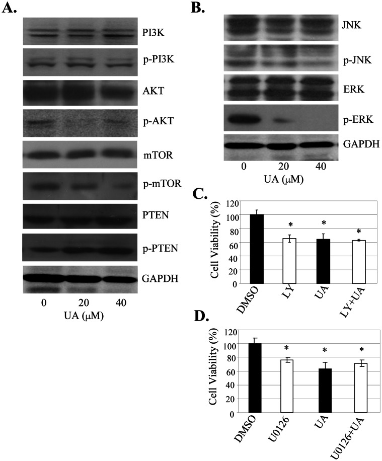 UA inactivated Akt/ERK signaling to inhibit cell proloferation. ( A, B ) , SW480 cells were treated with UA at 20µM or 40 µM for 48 h. The expression of the phosphorylated or total PI3K, Akt, mTOR, PTEN, JNK, ERK1/2 proteins was detected by Western blot. GAPDH was used as a control for sample loading. ( C, D ) , SW480 cells were treated with a PI3K/Akt-selective inhibitor LY294002 (LY, 5 µM) ( C ) or with an ERK-selective inhibitor U0126 (20 µM) ( D ) for 4 hours, and then treated with UA at 20 µM. At 48 hours after treatment, cell viability was determined by MTT analysis. The percent cell viability in each treatment group was calculated relative to cells treated with the vehicle control DMSO. The data are presented as the mean ± SD of three separate experiments. *, P