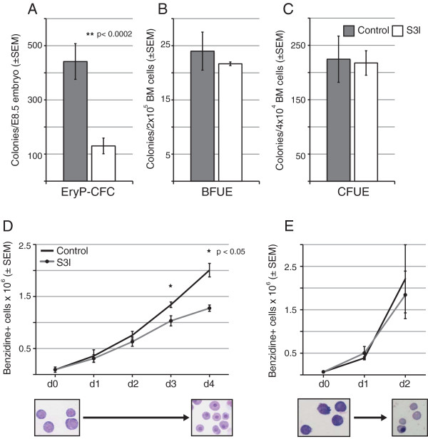 Stat3 inhibition differentially affects primitive erythroblast maturation in vitro. Erythroid progenitor assays were performed on single-cell suspensions of individual, dissociated E8.5 embryos ( A ) and bone marrow ( B , C ) cultured in methylcellulose with appropriate media and cytokine supplementation. EryP-CFC ( A ) colonies were scored after 5 days, d3 BFU-E ( B ) were scored after 3 days and CFU-E ( C ) were scored after 2 – 3 days of culture. Primitive erythroblast maturation cultures were performed on cells pooled from dissociated E8.5 embryos ( D ) while definitive cultures were initiated with ESRE ( E ). All cultures were treated with DMSO as a vehicle control or 100 μM Stat3 inhibitor, S3I-201. Liquid cultures ( D , E ) were pretreated with DMSO or S3I-201 for 2 hours prior to EPO stimulation. Definitive erythroblasts are cultured for 2 days, versus 4 days for primitive erythroblasts, because of their more rapid maturation in vitro and in vivo. Images are representative of primitive erythroblasts at days 1 and 4 of culture ( D ) and definitive erythroblasts at days 0 and 2 of culture ( E ).