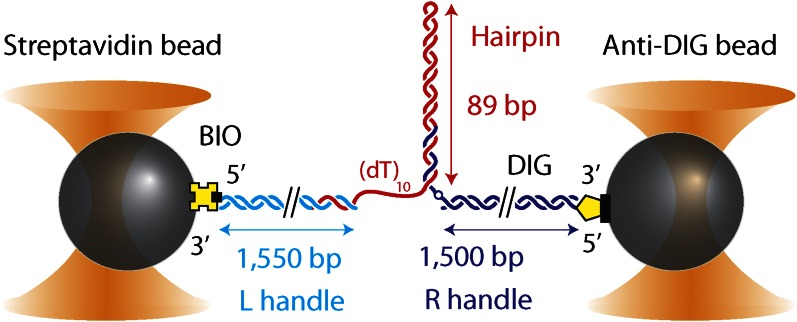 DNA hairpin substrate design. Schematic representation of the DNA hairpin substrate extended between two trapped beads (not to scale). The construct consisted of three separate fragments ligated together: a 1550-bp 'Left handle' (L; cyan), a 1500-bp 'Right handle' (R; dark blue), and the 89-bp (with (dT) 4 tetraloop) hairpin (red). L and R served as linkers attached to the trapped beads via 5′-biotin and 5′-digoxigenin modifications, respectively. L was attached to a 0.79-μm <t>streptavidin-coated</t> bead, R to a 0.86-μm anti-digoxigenin-coated bead. The hairpin was flanked at the 5′ end by a (dT) n ssDNA region that serves as a helicase loading site (here n = 10) and at the 3′ end by an abasic site (dark blue open circle). The construct was modular, allowing the hairpin sequence and the loading site length to be varied (see 'Materials and methods'). DOI: http://dx.doi.org/10.7554/eLife.00334.004