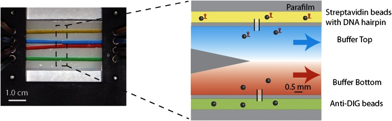 Laminar flow cell design. Photograph and schematic of a typical experimental flow cell. The flow cell consisted of two microscope cover glasses sandwiching one piece of patterned parafilm (see 'Materials and methods'). Eight small inlet holes on the top cover glass (four on each side) allowed different buffers to be streamed in through tubing mounted into the chamber bracket. In this photograph, food dye of different colors was flowed into the cell at a rate of 100 μl/hr to illustrate the four streams. The two inner streams (red and blue) merge into a central channel at a point near the center of the flow cell. Due to the laminar flow, a sharp interface is maintained between the two streams. The zoom-in shows the corresponding schematic of the experimental flow cell. The top channel (yellow) was loaded with streptavidin beads with attached DNA substrate. The bottom channel (green) was loaded with anti-DIG beads. The two types of beads diffused into the central channel via thin glass capillaries inserted into the parafilm, where they could be trapped and manipulated. In a typical measurement of single-XPD helicase activity, the top stream (blue) contained ATP while the bottom stream (red) contained protein ('Materials and methods'). DOI: http://dx.doi.org/10.7554/eLife.00334.006