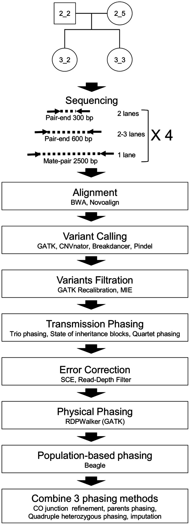 Sequencing strategy. Libraries of three different sizes were prepared from each member of the quartet from family FNY01 and sequenced on an Illumina HiSeq 2000. Reads were then aligned using BWA and Novoalign and variants were called and filtrated. Then, MIEs were detected. After that, variants were phased by transmission and errors were called. Phasing was then refined by physical and population-based approaches. Finally, phasing from all approaches was merged and recombination blocks and error analysis were refined. Positions called as MIE, SCE and uncalled or partially called positions were imputed by Beagle.