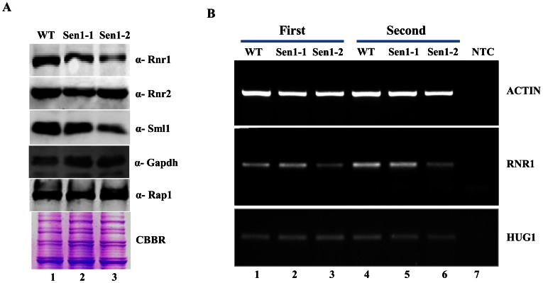Sen1 is required to maintain basal levels of RNR1 through transcription. A) Untreated WT, Sen1-1 and Sen1-2 cells were grown in liquid YPD to mid-log and used for making whole cell protein extracts by TCA precipitation. Samples were analyzed by western blotting with Rnr1, Rnr2, Sml1, Rap1 and Gapdh antibodies. CBBR stands for Coomassie Brilliant Blue R. B) Semi-quantitative analysis of RNR1, HUG1 genes; logarithmically grown Sen1 strains (WT, sen1-1, Sen1-2) in YPD were left untreated for 3 hr. Total <t>RNA</t> was extracted and reverse transcribed to <t>cDNA.</t> Semi-quantitative PCR analysis was performed to assess the levels of RNR1, HUG1 and ACT1 transcripts. The expected sizes of the PCR product for RNR1, HUG1 and ACT1 are 219, 190, and 520 bp respectively. Two repeats of RT-PCR amplifications are shown here.