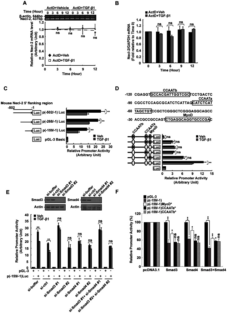Effect of TGF-β1 on Necl-2 mRNA stability and promoter activity. (A) and (B) Analysis of Necl-2 mRNA stability was performed by actinomycin D (ActD) assay. Cells were pre-treated with ActD (5 µg/ml) for 2 h before vehicle or TGF-β1 treatment. RT-PCR (A) and real-time PCR (B) were performed to determine Necl-2 mRNA level. (C) Progressive 5′-deletion analysis of mouse Necl-2 promoter was performed between nt -502 and -1. A series 5′-deletion constructs and pEGFP vector were co-transfected into GC-1 spg cells followed by TGF-β1 treatment (5 ng/ml, 18 h). (D) Three putative cis -acting elements including MyoD, CCAATa and CCAATb motifs are located within the region between nt -159 and -1 (upper panel). Site-directed mutagenic constructs containing single, double or triple mutations and pEGFP vector were co-transfected into GC-1 spg cells followed by TGF-β1 treatment. pEGFP activity was used to normalize transfection efficiency. Promoter activity was represented as the fold change when compared with pGL-3 vector. (E) pGL-3 vector, p(-159/−1)Luc and pEGFP vector were co-transfected with si-Smad3 (#1/#2, 20 nM) or/and si-Smad4 (#1/#2, 20 nM) for 48 h followed by TGF-β1 treatment. pEGFP activity was used to normalize transfection efficiency. Smad3 and Smad4 protein levels were examined by Western blotting. (F) Wild-type and single mutated constructs of p(-159/−1)Luc were co-transfected with pcDNA3.1 vector, Smad3 or/and Smad4 expression constructs into GC-1 spg cells. The promoter activity was presented as a percentage of that of pcDNA3.1-transfected cells. (A–F), Results are expressed as the mean±S.D. of three independent experiments. ns, not significant vs vehicle control (A–E) or p(-159/−1)Luc (F); *, p