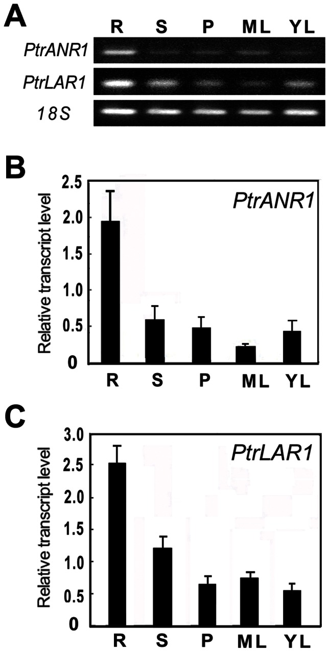 Expression analysis of PtrANR1 and PtrLAR1 in P. trichocarpa tissues. (A) Semi-quantitative <t>RT-PCR</t> analysis of PtrANR1 and PtrLAR1 expression in various tissues of P. trichocarpa . (B) Quantitative real-time PCR analysis of PtrANR1 transcript levels in various tissues of P. trichocarpa. (C) Quantitative real-time PCR analysis of PtrLAR1 transcript levels in various tissues of P. trichocarpa . Poplar 18S expression was used as a control. Total <t>RNA</t> was isolated from roots (R), stems (S), petioles (P), mature leaves (ML), and young leaves (YL).