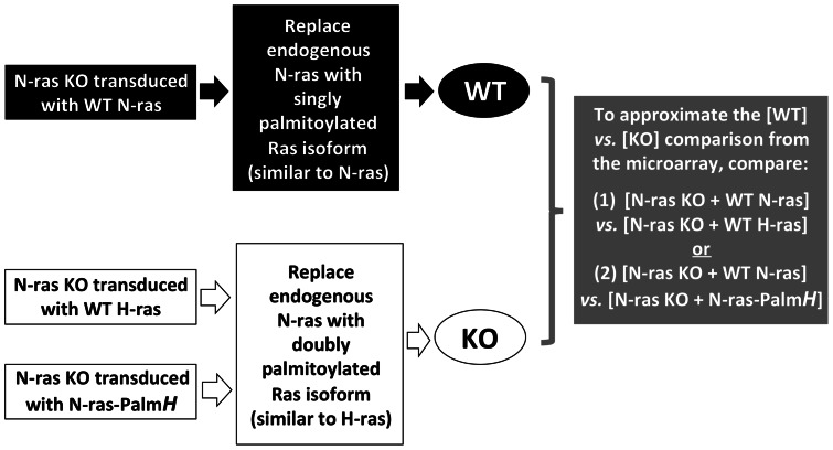 Schematic of the rationale and the experimental design of qRT-PCR-based validation experiments that were performed with candidate genes from the second set of microarray experiments. The assumption behind these experiments was that over-expression of WT N-ras in N-ras KO CD4 + T-cells should be able to reconstitute or rescue the gene expression of the candidate genes as seen in WT cells. In contrast, over-expression of WT H-ras in N-ras KO CD4 + T-cells should not be able to rescue the expression of these candidate genes, and N-ras KO cells over-expressing WT H-ras should therefore be most similar to N-ras KO cells in their pattern of gene expression. From a palmitoylation state perspective, N-ras-Palm H was similar to WT H-ras, and one would therefore not expect that over-expression of N-ras-Palm H in the N-ras KO background would be able to rescue the expression of candidate genes downstream on N-ras.