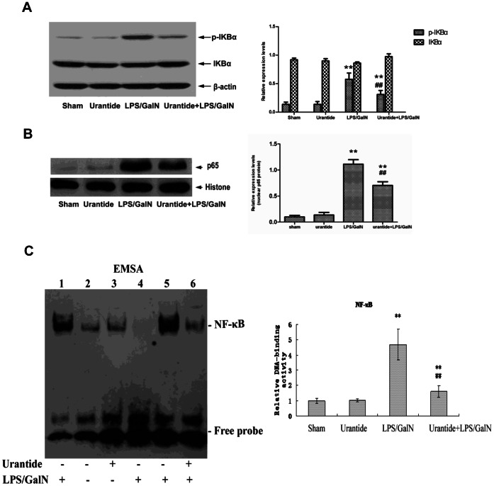 Effect of urantide on NF-κB pathway activation in liver. (A) IκB and phospho- IκB in liver cytoplasmic protein extracts; Left panel shows a representative picture of Western blot, and right shows the relative levels of IκBα and phospho- IκBα protein in liver after normalization to β-actin. (B) NF-κB p65 subunit in liver nuclear protein extracts; Left panel shows a representative picture of Western blot, and right shows the relative levels of p65 protein in liver after normalization to histone. (C) DNA-binding activity of NF-κB in liver nuclear protein extracts; DNA-binding activity of NF-κB was analyzed by EMSA (top). Lane 2, 3, 5 and 6 are target reactions (liver nuclear extract+biotin-DNA probe). Lane 2: sham; lane 3: urantide; lane 5: LPS/GalN; lane 6: urantide+LPS/GalN. Lane 1 and 4 are control reactions. Lane 1: cold competitive reaction of mutation DNA probe (liver nuclear extract+biotin-DNA +200-fold molar excess of unlabeled mutation DNA); lane 4: cold competitive reaction of DNA probe (liver nuclear extract+biotin-DNA +200-fold molar excess of unlabeled DNA). The bands corresponding to NF-κB were quantitated by densitometry (lower). Bars represent means ± SD (n = 6). * P