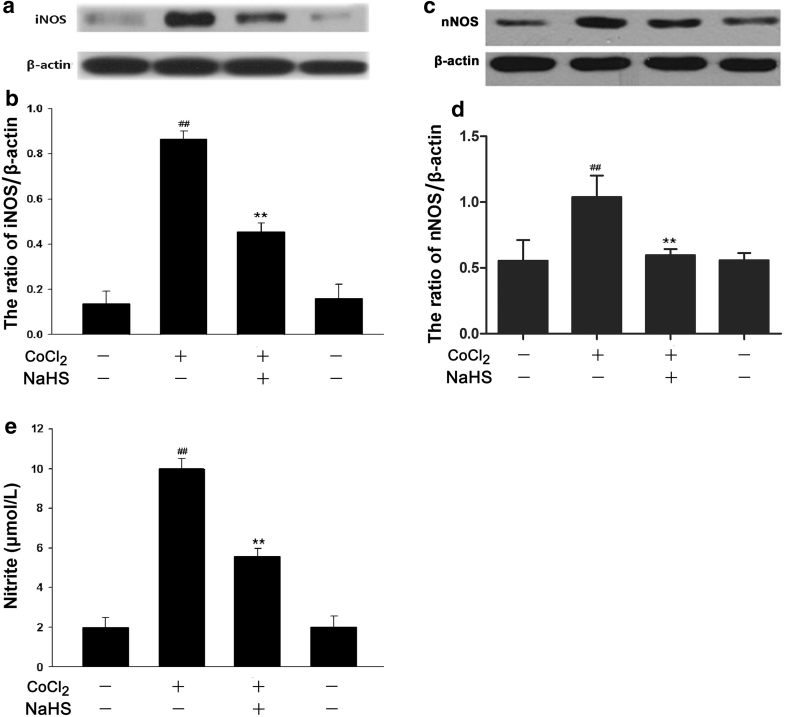"NaHS attenuates CoCl 2 -induced expression levels of iNOS and nNOS as well as NO production in PC12 cells. PC12 cells were treated with 600 μmol/l CoCl 2 for 24 h in the absence or presence of the preconditioning with 400 μmol/l NaHS for 30 min. The expression levels of iNOS ( a ) and nNOS ( c ) were determined by Western blot assay. b and d Densitometric analysis of the results from a and c , respectively. e PC12 cells were treated with 600 μmol/l CoCl 2 for 48 h in the presence or absence of pretreatment with 400 μmol/l NaHS for 30 min. Nitrite in the culture supernatant was determined using the Griess reagent as described in ""Materials and Methods"". Data were presented as the mean ± SEM (n = 5). ## P"