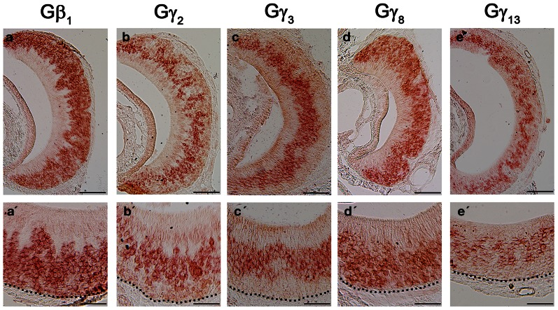 RNA in situ hybridization analysis of Gβ and Gγ subunit gene transcript expression in the adult VNO. Top: RISH images of coronal sections of VNO labeled with antisense probes against Gβ 1 (a), Gγ 2 (b), Gγ 3 (c), Gγ 8 (d) and Gγ 13 (e); Bottom: Higher-magnification views of RISH images correlated to images in the top panels. Black dotted line represent basal lamina. Note that Gβ 1 and Gγ 8 are expressed throughout VSN layers, whereas Gγ 2 , Gγ 3 and Gγ 13 are expressed largely in the apical VSN zone. Scale: all top panels: 100 μm bottom panels: 50 μm.