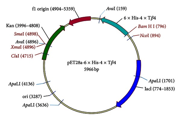 Diagramme of pET28a-6 × his-4 × T β 4. lac I, lac repressor coding gene; Kan: kanamycin coding gene; 6 × his, a DNA sequence encoding six histidines; 4 × Tβ 4, four copies of a DNA sequence which encode Tβ 4 arranged in tandem; origin, DNA sequence of pBR322 origin of replication; f1 origin, DNA sequence of phage f1 origin of replication.