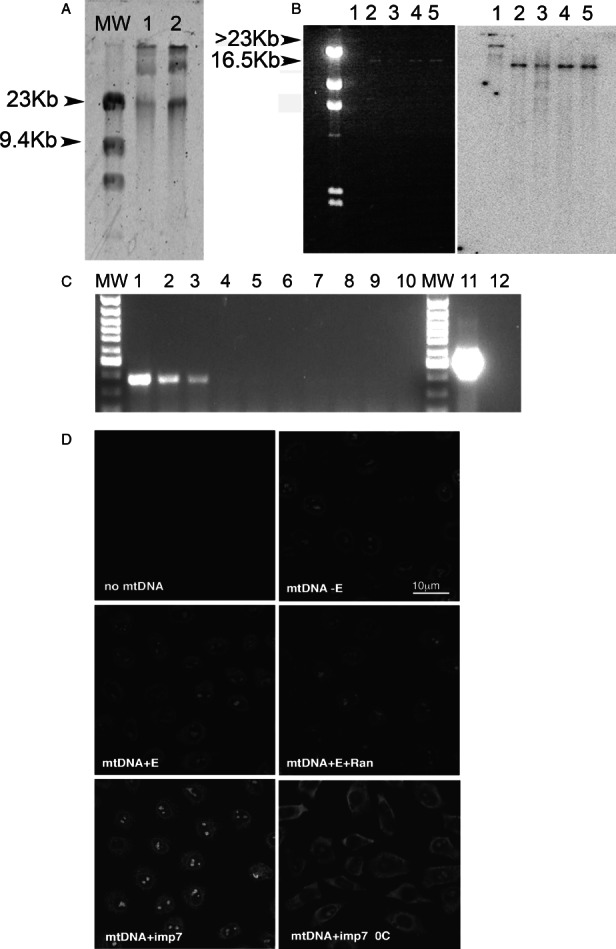 Imp7 induces nuclear import of human mtDNA A) mtDNA was obtained from purified HeLa cells mitochondria after ultracentrifugation through a 4.5 m CsCl gradient and run on a 0.8% agarose gel. The band migrating with an apparent molecular weight of > 23 kb was excised and eluted. MW, molecular weight markers; lanes 1 and 2, two different mtDNA preparations. B) Gel-fractionated mtDNA was analyzed by Southern blot with a COX I specific probe. Left panel, agarose gel after ethidium bromide staining; right panel, Southern blot. Lane 1, undigested mtDNA; lane 2, mtDNA cut with BamHI; lane 3, mtDNA cut with ClaI; lane 4, mtDNA cut with PvuII, lane 5, mtDNA cut with XhoI. These enzymes cut once in the mtDNA sequence 33 . C) Purified mtDNA analyzed by PCR with primers specific for 28S rDNA or for COX I. MW, molecular weight markers, lanes 1–5, serial dilutions of genomic DNA from 30 to 0.3 ng amplified using 28S rDNA specific primers; lanes 6, no genomic DNA; lanes 7–10, serial dilutions of purified mtDNA from 30 to 1 ng; lane 11, mtDNA (1.25 ng) amplified with COX I specific primers; lane 12, no mtDNA. D) Nuclear import assay into permeabilized HeLa cells in the presence of 20 ng labelled mtDNA and: buffer (−E); 1× energy mix (E); 1× energy mix + 1× Ran mix (E + Ran); 1× energy mix + 1× Ran mix + 1 µ m imp7 (imp7). Results are representative of two independent experiments. Scale bar = 10 µm.