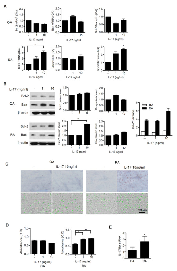 Interleukin (IL)-17 upregulates the expression of Bcl-2 in synoviocytes in rheumatoid arthritis (RA) . ( A ) Fibroblast-like synoviocytes from patients with RA (RA-FLSs) ( n = 3) and fibroblast-like synoviocytes from patients with osteoarthritis (OA-FLSs) ( n = 3) were cultured with IL-17 (0, 1 and 10 ng/ml) for 12 hours. The mRNA expression of Bcl-2 and Bax was evaluated by real-time PCR. The Bcl-2/Bax ratio is shown in the right panel. * P