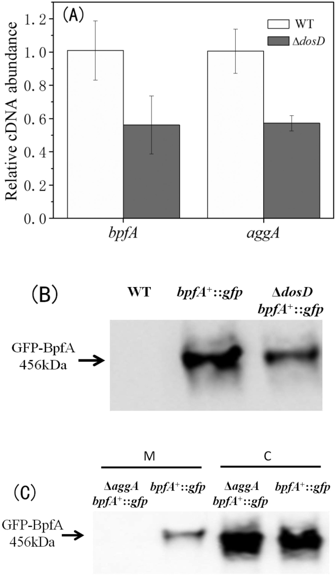 DosD regulates the transcription and secretion of bpfA . (A) The transcription levels of bpfA and aggA in Δ dosD relative to WT. The quantity of cDNA was normalized to the abundance of 16S cDNA in the qRT-PCR analysis. (B) The level of BpfA in Δ dosD bpfA + ::gfp and bpfA + ::gfp . WT was set as a control. (C) Localization and abundance of BpfA inΔ aggA bpfA + ::gfp and bpfA + ::gfp . M indicates the sample of membrane fractions and C indicates the sample of cytoplasm fraction.