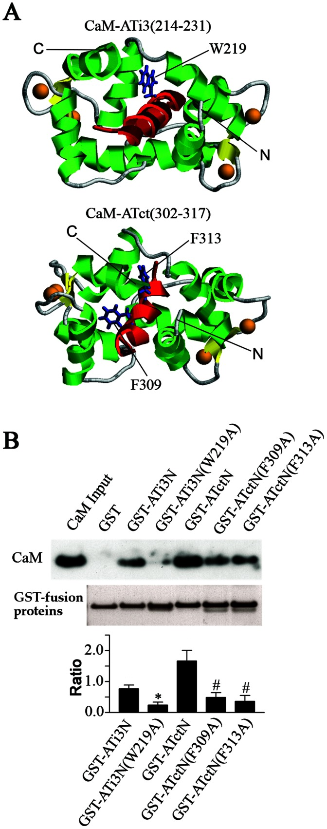 Effect of point mutations in ATi3N or ATctN on their interactions with CaM. A. Modeled structures of CaM-ATi3(214–231) and CaM-ATct(302–317). The complexes of CaM and CaM binding motif in the i3 loop ATi3(214–231) or the carboxyl terminal tail ATct(302–317) of the receptor were modeled as described in Experimental Procedures. The target peptides are colored in red. Residues W219 in ATi3(214–231)−SYTLIWKALKKAYEIQKN, and F309 and F313 in ATct(302–317)−YGFLGKKFKKYFLQLL are displayed with sticks and are colored in blue. Calcium atoms are shown as orange spheres. The N- and C- termini of CaM are also labeled. Helices and sheets in CaM are colored in green and yellow, respectively. B. Effect of point mutations at ATi3N or ATctN on their interaction with CaM. 50 pmol of wild type GST-fusion proteins including GST-ATi3N(213–234) and GST-ATctN (297–324), and 50 pmol of mutated GST-fusion proteins including GST-ATi3N(W219A), GST-ATctN(F309A) and GST-ATctN(F313A), were incubated with purified bovine brain CaM in a buffer containing 100 mM Tris-HCl (pH 7.5) with 0.1 mM CaCl 2 . The protein complexes were pulled down by gluthathione-sepharose 4B beads, and subjected to immunoblot with a specific anti-CaM antibody. GST-fusion proteins were visualized in the gels by Coomassie blue staining (the lower gel panel). The summary graph represents relative densities of the ratio of the CaM in the immunoblots and the loaded GST-fusion proteins as determined by Coomassie blue staining. The bars represent mean ± S.E. from 5 independent experiments. * or # stand for P
