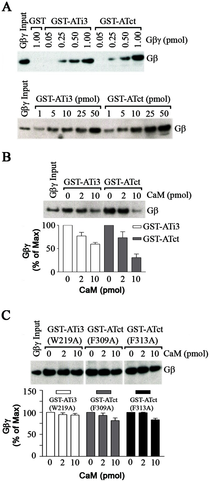 Effect of CaM on G protein βγ subunit interaction with wild ATi3 or ATct. A. Interaction of G protein βγ subunits and ATi3 or ATct. 50 pmol of GST-ATi3(213–242) or GST-ATct(297–359) were incubated with different amounts of G protein Gβγ subunits in a buffer containing 20 mM Tris-HCl and 70 mM NaCl (pH 7.5). Interactions were assessed by GST-fusion protein pull-down assay, and blots were probed with a specific antibody against Gβ subunits (upper panel). 1 pmol of Gβγ subunit was interacted with different amounts of GST-ATi3(213–242) and GST-ATct(297–359). Interaction was assessed by immunoblot against Gβ subunits (lower panel). B. CaM inhibits the interaction between G protein Gβγ subunits and ATi3 or ATct. 2 pmol of GST-ATi3(213–242) or GST-ATct(297–359) were incubated with different concentrations of pure bovine brain CaM for 30 minutes in a buffer (20 mM Tris-HCl and 70 mM NaCl with 0.1 mM CaCl 2 , pH 7.5) following which 2 pmol of Gβγ subunits were added and incubated for 1 hour. GST-fusion proteins and their interacting proteins were pulled down by gluthathione-sepharose 4B beads, and subjected to immunoblot. Blots were probed with a specific antibody against Gβ subunits. The summary graph represents means ± S.E. from four independent experiments. C. Effects of CaM on the interactions between G protein βγ subunits and mutated ATi3 and ATct. The method is same as the described in the Figure 7B , except that we used mutated GST-fusion proteins, GST-ATi3(213–242)W219A, ATct(297–359)F309A, and ATct(297–359)F313A. The summary graph represents mean ± S.E. from 4 or 5 independent experiments.