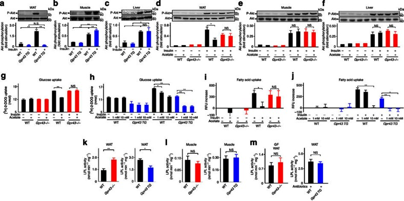GPR43 suppresses insulin signalling in the adipose tissues but not in muscles or liver. Insulin-stimulated Akt phosphorylation of Ser473 in the WAT ( a , n =3), muscles ( b , n =4) and liver ( c , n =3) of aP2-Gpr43TG mice fed an HFD after 6 h of fasting. ( d – f ) Inhibitory effects of acetate on insulin signalling (1 g kg −1 , i.p.). After pretreatment with acetate for 40 min, a bolus of insulin (0.15 U kg −1 ) with or without acetate (1 g kg −1 ) was administered intraperitoneally. Akt phosphorylation of Ser473 in the WAT ( d , n =3), muscles ( e , n =3) and liver ( f , n =3) of Gpr43 −/− mice after 6 h of fasting. ( g , h ) Effect of acetate on glucose uptake in MEF-derived adipocytes from Gpr43−/− or aP2-Gpr43TG mice ( n =4, respectively). ( i , j ) Effect of acetate on the fatty acid uptake in MEF-derived adipocytes from Gpr43−/− or aP2-Gpr43TG mice ( n =8–15). LPL activity in the WAT ( k , n =4–5) and the muscles ( l , n =3–5) of Gpr43−/− or aP2-Gpr43TG mice ( n =3–4). ( m ) LPL activity of Gpr43−/− mice fed an HFD under GF conditions ( n =4, 6) or aP2-Gpr43TG mice treated with antibiotics ( n =7, 6). All mice were analysed at 15–16 weeks of age. All data are presented as mean±s.e.m. analysis of variance followed by Tukey–Kramer's post hoc test ( a – j ) and Student's t -test ( k – m ); * P