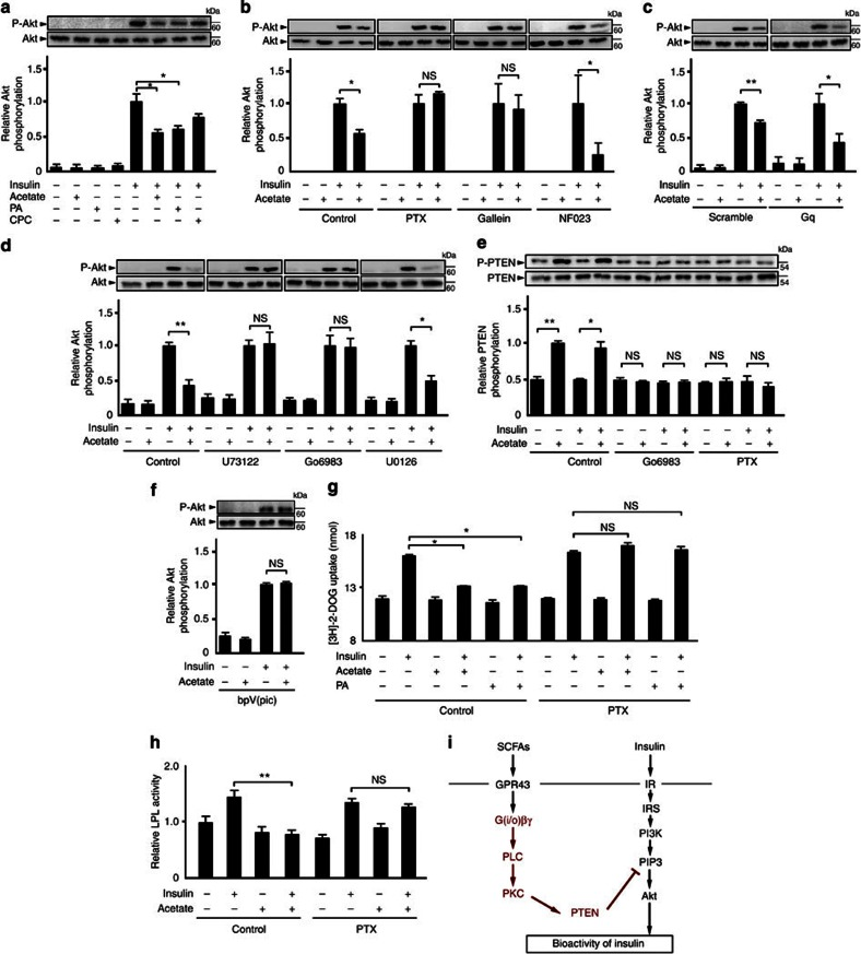 <t>GPR43</t> suppresses insulin signalling via G(i/o)βγ-PLC–PKC–PTEN signalling. ( a ) Inhibitory effects of GPR43 agonists (10 mM acetate and 10 μM PA) and a GPR41 agonist (10 μM cyclopropanecarboxylic acid (CPC)) on insulin-induced <t>Akt</t> phosphorylation ( n =3). PA, phenylacetamide. ( b ) Effects of Gi/o signalling inhibition on suppression of insulin-induced Akt phosphorylation by acetate ( n =3). ( c ) Effects of Gq signalling inhibition using siRNA (no. 1) on suppression of insulin-induced Akt phosphorylation by acetate ( n =3). ( d ) Effects of Gβγ signalling inhibition on suppression of insulin-induced Akt phosphorylation by acetate ( n =3). ( e ) Effects of GPR43 stimulation on PTEN phosphorylation ( n =3). ( f ) Effects of PTEN signalling inhibition on suppression of insulin-induced Akt phosphorylation by acetate ( n =3). Cells were stimulated with insulin (3 μg ml −1 ) in the presence of acetate (10 mM) and bpV(pic) (1 μM) for 5 min after pretreatment with acetate for 2 h. ( g ) Effect of GPR43 agonists (10 mM acetate and 10 μM PA) on insulin-induced glucose uptake ( n =4). ( h ) Effect of acetate on insulin-induced LPL activity ( n =4). Cells were stimulated with insulin (3 μg ml −1 ) in the presence of acetate (10 mM) and inhibitor for 30 min after pretreatment with acetate for 2 h and PTX (1 μg ml −1 ) for 4 h. In all experiments, cells were stimulated with insulin (3 μg ml −1 ) in the presence of GPR43 agonist (10 mM acetate, 10 μM PA, or 10 μM CPC) for 5 min after pretreatment with GPR43 agonists for 2 h, Gallein (10 μM), NF023 (10 μM), PTX (1 μg ml −1 ), U73122 (1 μM), Go6983 (10 μM),or U0126 (10 μM) for 4 h. All experiments were performed by using 3T3-L1-derived adipocytes ( a – f , h ) and MEF-derived adipocytes ( g ). All data are presented as mean±s.e.m. analysis of variance followed by Tukey–Kramer's post hoc test; * P