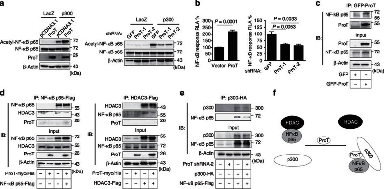 Overexpression of ProT increases NF-κB acetylation. ( a ) Detection of acetylated NF-κB p65 (Lys310). 293T cells that had been transfected with pcDNA3.1-ProT-myc/His or pcDNA3.1 (left) or transduced with lentiviruses expressing ProT shRNA-1 and -2 or GFP shRNA (right) were transfected with a p300 expression vector (pCMVb p300 HA delta33) or a control vector (pHM6-lacZ). After 24 h, total cell lysates were examined for the indicated proteins by immunoblotting. Equal levels of p300 and LacZ expression in the transfected cells were verified. ( b ) Reporter assay for NF-κB transactivation activity. 293T cells that had been transduced with lentiviruses expressing ProT-IRES-GFP or GFP alone (left), or ProT or GFP shRNA (right) were cotransfected with pNF-κB-Luc and pTK-Renilla reporter plasmids. Total cell lysates were harvested 48 h later, and their firefly and Renilla luciferase activities were determined. The ratio of firefly luciferase activity to Renilla luciferase activity was expressed as relative light activity. Values shown are the mean±s.e.m. ( n =4 for left and n =5 for right; Student's t -test). ( c ) NF-κB and ProT binding assay. Cell lysates from 293T cells transduced with lentiviruses expressing GFP-tagged ProT or GFP alone were immuoprecipitated by anti-GFP monoclonal antibody followed by immunoblotting with anti-NF-κB p65 and anti-GFP antibody. Whole-cell lysates without immunoprecipitation (10% input) were estimated for the expression levels of NF-κB and ProT by immunoblotting. ( d ) Analysis of the effect of ProT on NF-κB and HDAC3 binding. 293T cells that had been transfected with an NF-κB p65 expression vector (pcDNA3-cFlag-RelA) or a control vector (pCMV-Tag2B) (left) or HDAC3 expression vector (pcDNA3.1-HDAC3-Flag) or a control vector (pCMV-Tag2B) (right) were transfected with pcDNA3.1-ProT-myc/His or pcDNA3.1. After 24 h, total cell lysates were immuoprecipitated by Flag-M2 beads followed by immunoblotting with the indicated proteins. Whole-cell ly