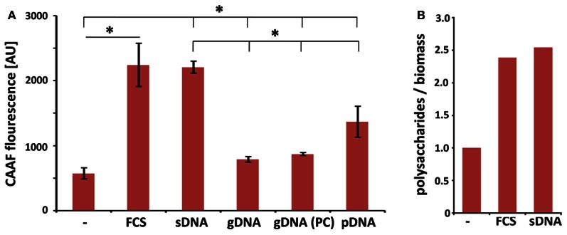 Extrinsic DNA increases ECM formation in biofilms. (A) CAAF fluorescence of total fungal polysaccharides was determined in biofilms seeded at an initial density of 10 4 per well and used as a measure for ECM production in biofilms in the presence of 1 mg ml −1 DNA from indicated sources (sDNA, sheared herring sperm DNA; gDNA, genomic DNA from A. fumigatus ; PC, phenol chloroform extracted DNA; pDNA; purified plasmid DNA). Displayed values represent the means and SDs of three independent experiments and an asterisks indicate p