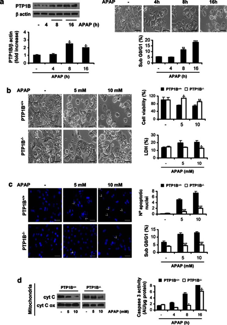 PTP1B-deficient primary hepatocytes are protected against APAP-induced cell death. ( a , left panel) Wild-type (PTP1B +/+ ) mouse primary hepatocytes were treated with 10 mM APAP for various time-periods. The expression of PTP1B was analyzed by western blot. * P
