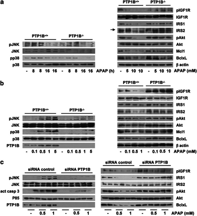 Effect of PTP1B deficiency in stress and survival signaling in hepatocytes. ( a , left panel) PTP1B +/+ and PTP1B −/− mouse primary hepatocytes were treated with APAP (10 mM) for various time periods. Total cell lysates were analyzed by western blot with the antibodies against phospho (p)-JNK1/2, JNK1/2, phospho-p38 MAPK and p38 MAPK. Representative autoradiograms corresponding to three independent experiments are shown. (Right panel) PTP1B +/+ and PTP1B −/− mouse primary hepatocytes were treated with APAP (5 and 10 mM) for 16 h. Total cell lysates were analyzed by western blot with the antibodies against phospho (p)-IGFIR, IGFIR, IRS1, IRS2, phospho-Akt, Akt, BclxL, Mcl1 and β -actin as a loading control. Representative autoradiograms corresponding to three independent experiments are shown. ( b ) PTP1B +/+ and PTP1B −/− immortalized hepatocytes were treated with various doses of APAP for 16 h. Total cell lysates were analyzed by western blot with the indicated antibodies. Representative autoradiograms corresponding to three independent experiments are shown. ( c ) Immortalized PTP1B +/+ hepatocytes transfected with 10 nM of control or PTP1B small interfering RNA (siRNA) for 48 h were further treated with various doses of APAP for 16 h. Total cell lysates were analyzed by western blot with the indicated antibodies. Representative autoradiograms corresponding to three independent experiments are shown