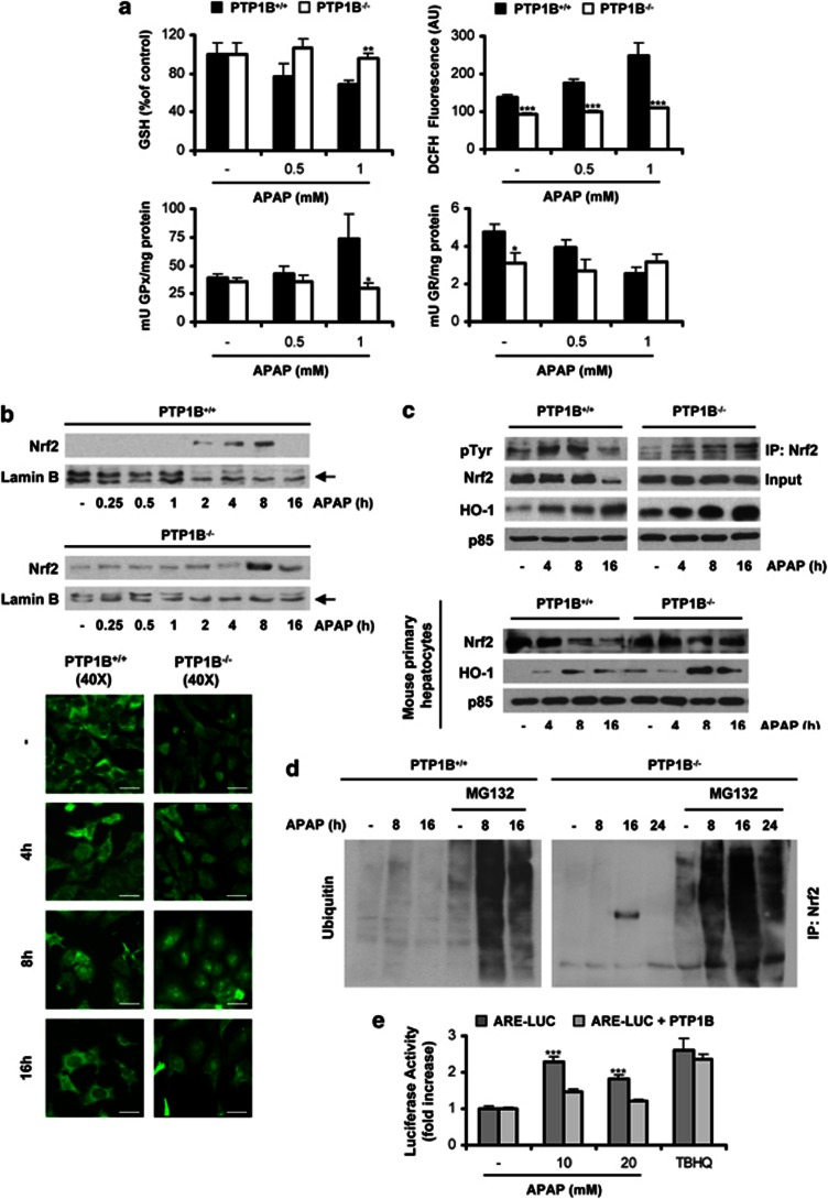 PTP1B deficiency protects hepatocytes against GSH depletion and elevation of ROS; effect on nuclear Nrf2 accumulation. PTP1B +/+ and PTP1B −/− immortalized hepatocytes were treated with various doses of APAP for different time-periods. ( a ) Analysis of GSH content (4 h), ROS levels (6 h) and GPx and GR activity (16 h) in three independent experiments. * P