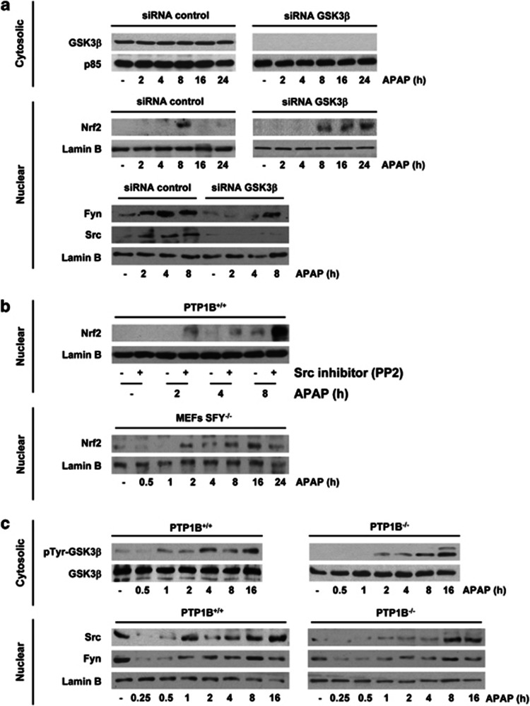 PTP1B modulates GSK3 β /Src-Fyn-mediated Nrf2 nuclear accumulation in APAP-treated hepatocytes. ( a ) PTP1B +/+ immortalized hepatocytes were transfected with control or GSK3 β small interfering RNAs (siRNAs) (25 nM) for 48 h, followed by stimulation with 1 mM APAP. Nuclear and cytosolic extracts were analyzed by western blot with antibodies against Nrf2, Fyn and Src. ( b , upper panel) PTP1B +/+ immortalized hepatocytes were treated with PP2 (5 μ M) for 30 min following 1 mM APAP for different periods. Nrf2 in nuclear extracts was analyzed by western blot. (Lower panel) SYF −/− MEFs were treated with 1 mM APAP for different periods and Nrf2 was analyzed in nuclear extracts by western blot. ( c ) PTP1B +/+ and PTP1B −/− immortalized hepatocytes were treated with 1 mM APAP for different periods. Phosphorylated GSK3β (Tyr216) was analyzed in cytosolic extracts by western blot. Fyn and Src were analyzed in nuclear extracts. Similar results were obtained in three independent experiments