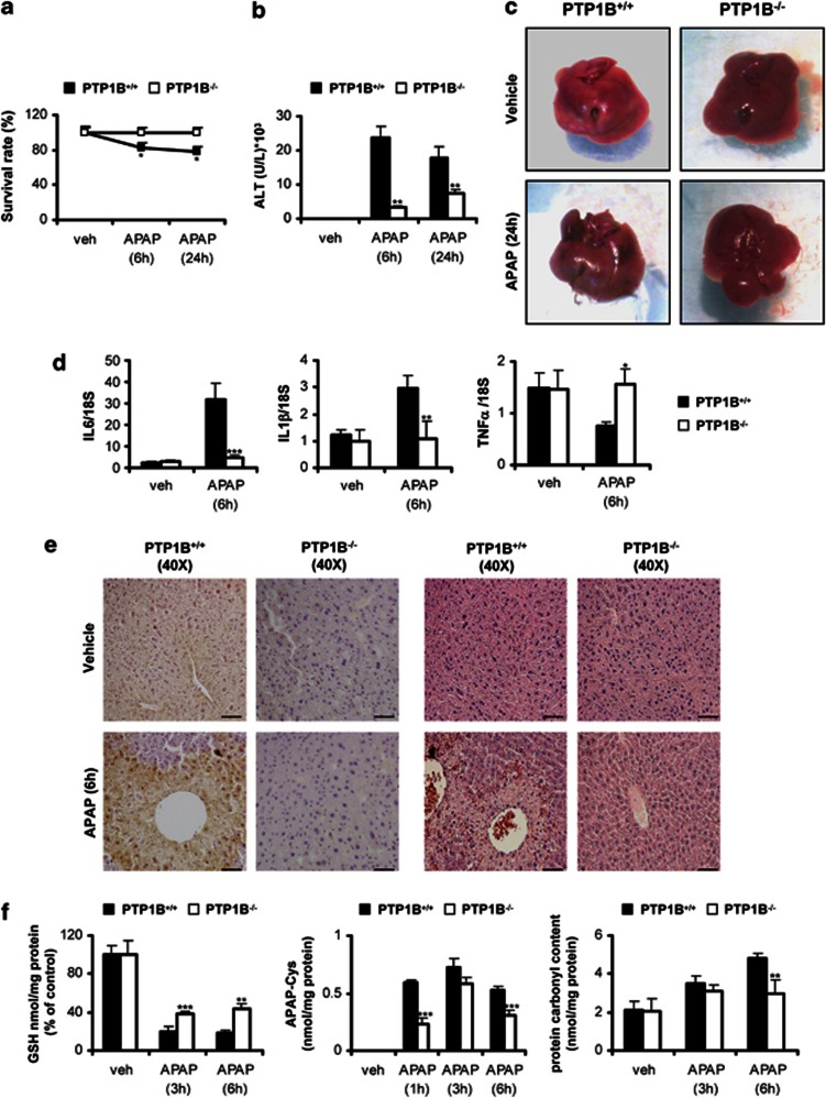 PTP1B-deficient mice are protected against APAP-induced, inflammation oxidative stress and liver damage. PTP1B +/+ and PTP1B −/− mice were injected with 300 mg/kg APAP or saline for 6 or 24 h. ( a ) Survival curves after 24 h of APAP injection. ( b ) ALT activity at 6 and 24 h. ( c ) Representative images of whole livers from PTP1B +/+ and PTP1B −/− mice 24 h after APAP injection. ( d ) IL6, IL1 β and TNF α mRNA levels were determined by real-time polymerase chain reaction in livers from PTP1B +/+ and PTP1B −/− mice at 6 h after APAP injection. ( e ) Representative anti-PTP1B immunostaining (left panel) and hematoxylin and eosin staining (right panel) in livers from PTP1B +/+ and PTP1B −/− mice 6 h after APAP injection. Bar=100 μ m. ( f ) GSH (left panel), APAP–protein adducts (middle panel) and carbonylated protein levels (right panel) were analyzed in livers from PTP1B +/+ and PTP1B −/− mice at various time-periods after APAP injection. * P