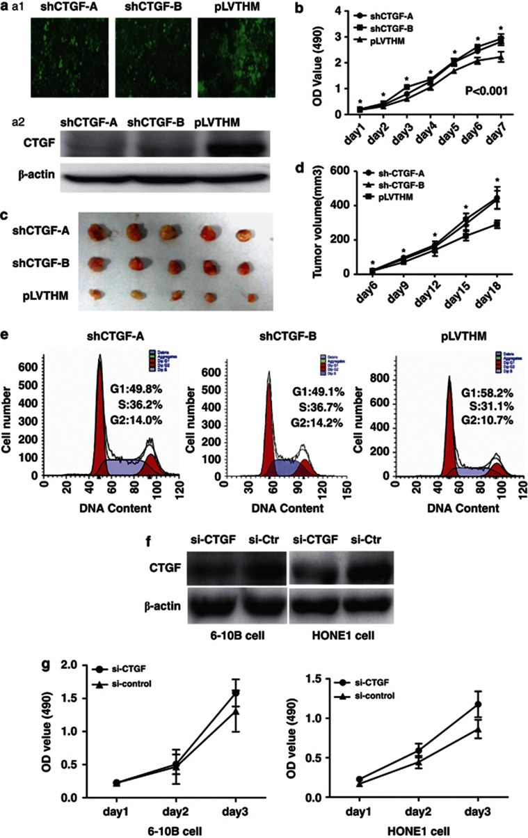 Stable suppression of CTGF expression stimulated the proliferation of NPC cells and speeded up the transition of cell cycle from G1 to S. ( a ) (A1) Polyclonal cells of lentivirus-mediated shRNA-CTGF-A and B, and PLV-Ctr were screened by GFP using FACS cytometry assay. (A2) Expression of CTGF was suppressed in shRNA-CTGF-A and B compared with PLV-Ctr cells by western blot. ( b ) In vitro proliferative ability of NPC cells was significantly restored in CTGF-suppressed cells compared with PLV-Ctr cells by MTT assay. ( c ) When compared with PLV-Ctr cells, tumor weight of shRNA-CTGF-A and B cells was markedly increased in vivo . ( d ) When compared with PLV-Ctr cells, tumor volume of shRNA-CTGF-A and B cells was markedly increased in vivo . ( e ) Downregulated CTGF expression stimulated cell cycle progression from G1 to S in shRNA-CTGF-A and B cells ( P