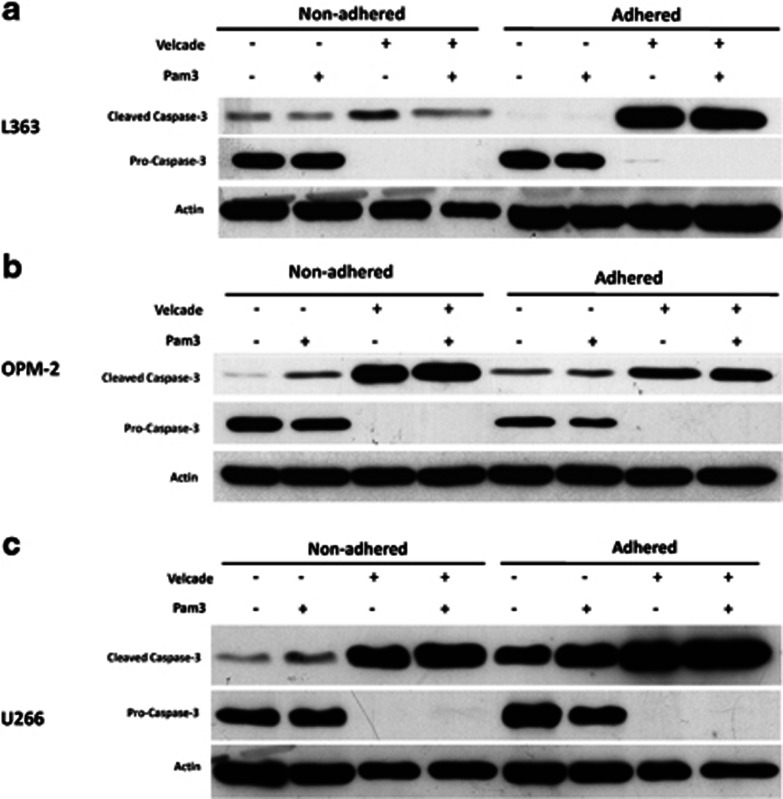 The effect of Pam3CSK4 and Pam3CSK4+Velcade on cleavage of <t>pro-caspase-3</t> protein in the presence or absence of FN in L363 ( a ), OPM-2 ( b ) and U266 ( c ) HMCLs. After treatment with Pam3CSK4 with or without Velcade, non-adhered and FN-adhered HMCLs were analyzed for cleaved and pro-enzyme forms of caspase-3 using western blotting as described in Materials and Methods. β-Actin was used as a housekeeping protein.