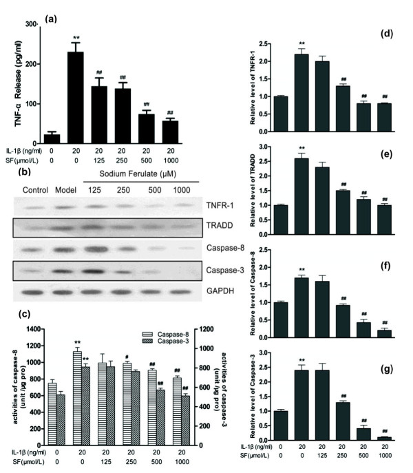 Effects of sodium ferulate on the caspase cascade apoptosis pathway in rat osteoarthritis chondrocytes . Effects of sodium ferulate (SF) on the TNF/TNF receptor (TNFR)-mediated caspase cascade apoptosis pathway of rat osteoarthritis (OA) chondrocytes induced by IL-1β. (a) Effects of SF on expression of TNFα in rat OA chondrocytes. Chondrocytes were incubated with SF alone for 24 hours, and then co-treated with IL-1β and SF for 48 hours. Supernatants were collected after 72 hours. Release of TNFα was analyzed by ELISA. (b) Effects of SF on protein expression of TNFR-1, TNF receptor-associated death domain (TRADD), caspase-8, caspase-3 and glyceraldehyde-3-phosphate dehydrogenase (GAPDH) in rat OA chondrocytes. Expression of proteins determined by western blotting. (c) Effects of SF on activity of caspase-8 and caspase-3 in rat OA chondrocytes. An activity unit was defined as the amount of enzyme that will cleave 1.0 nmol colorimetric substrate (acetyl-Asp-Glu-Val-Asp p -nitroanilide or acetyl-Ile-Glu-Thr-Asp p -nitroanilide) per hour at 37°C under saturated substrate concentrations. Caspase activity was expressed as activity units compared with total protein content (unit/μg pro). (d, e, f, g) Relative level of TNFR-1, TRADD, caspase-8 and caspase-3 normalized to GAPDH and compared with normal control, quantitatively analyzed by Kodak Digital Science 1D software (Eastman Kodak, Rochester, NY, USA) and expressed as mean optical density. Values represent mean ± standard error of the mean of three different simples. ** P