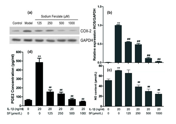 Effects of sodium ferulate on cycloxygenase-2, prostaglandin E2, inducible nitric oxide synthase, and nitric oxide . Effects of sodium ferulate (SF) on cycloxygenase-2 (COX-2), prostaglandin E2 (PGE2), inducible nitric oxide synthase (iNOS) and nitric oxide (NO) expression and synthesis of rat osteoarthritis (OA) chondrocytes induced by IL-1β. (a) Effects of SF on protein expression of COX-2 and glyceraldehyde-3-phosphate dehydrogenase (GAPDH) in rat OA chondrocytes. Chondrocytes were incubated with SF alone for 24 hours, and then co-treated with IL-1β and SF for 48 hours. Expression of COX-2 and GAPDH determined by western blotting. (b) Effects of SF on gene expression of iNOS and GAPDH in rat OA chondrocytes. Level of iNOS was evaluated by real-time quantitative PCR. (c) Effects of SF on NO synthesis of rat OA chondrocytes induced by IL-1β. NO production was measured as nitrite (NO 2 - ) in the culture medium by the Griess reaction. NO concentration was calculated (expressed in μmol/l). (d) Effects of SF on expression of PGE2 in rat OA chondrocytes. The release of PGE2 was analyzed by ELISA and the concentration was calculated (expressed in pg/ml). Values represent mean ± standard error of the mean of three different simples. ** P