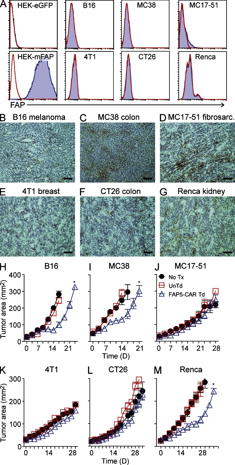 FAP expression in mouse tumors, and in vivo activity of FAP5-CAR–transduced T cells against various murine tumors. In vitro cultured B16, MC38, MC17-51, 4T1, CT26, and Renca murine tumors were assessed for FAP expression by flow cytometry with the FAP-specific antibody FAP5 (A). Solid line is isotype control and filled histogram is FAP5 stained. Results are representative of at least two independent experiments. Established (∼11–16 d) subcutaneously implanted B16 (B), MC38 (C), MC17-51 (D), 4T1 (E), CT26 (F), and Renca (G) tumors were harvested from mice (irradiated before harvest) and assessed for FAP expression by IHC using biotinylated-FAP5 antibody. Bars, 400 µm. Representative of at least two independent experiments. C57BL/6 mice bearing established B16 (H), MC38 (I), MC17-51 (J) tumors, and BALB/c mice bearing established 4T1 (K), CT26 (L), or Renca (M) tumors were left untreated (No Tx) or treated with 10 7 UnTd or 10 7 FAP5-CAR Td T cells, and the perpendicular diameters of the tumors were measured over time. Mean ± SEM. Results are representative of at least two independent experiments for H–J and one experiment for K–M with initially five mice per group. *, P
