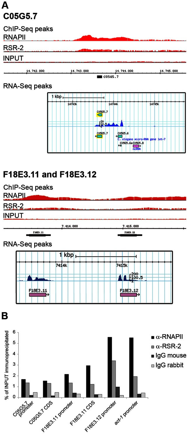 RSR-2 binds to intronless genes. (A) Chromatin-binding profiles of RNAPII and RSR-2, and RNA-Seq reads in intronless genes. RNA-Seq reads correspond to the N2 mid-L4 stage dataset from the modENCODE consortium [82] . (B) ChIP-qPCR for intronless genes with mouse anti-RNAPII (8WG16), rabbit anti-RSR-2 (Q5092) and unspecific mouse and rabbit IgG antibodies (sc-2025 and sc-2027 respectively). All qPCR values are represented as the percentage of input immunoprecipitated.