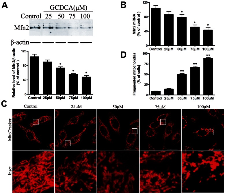 GCDCA decreased mitochondrial fusion protein Mfn2 expression and induced mitochondria fragmentation in the treated L02 cells. (A) Representative immunoblot and quantification analysis of the protein level of Mfn2 (86 kDa) in the L02 cells. β-actin (42 kDa) was the internal standard for protein loading. (B) The specific fluorescence probe, MitoTracker Red CMXRos (red), was used to detect changes in the mitochondrial morphology. After the L02 cells were treated with various doses of GCDCA, representative changes in the mitochondrial morphology were detected under confocal microscopy. (C) Proportions of cells with fragmented mitochondrial pattern was determined in at least six different cultures under basal conditions (untreated), and after the L02 cells were treated with various doses (25, 50, 75, or 100 µM) of GCDCA for 6 h. The results are expressed as a percentage of the control value, which was set at 100%. The values are the means ± SEM. *P