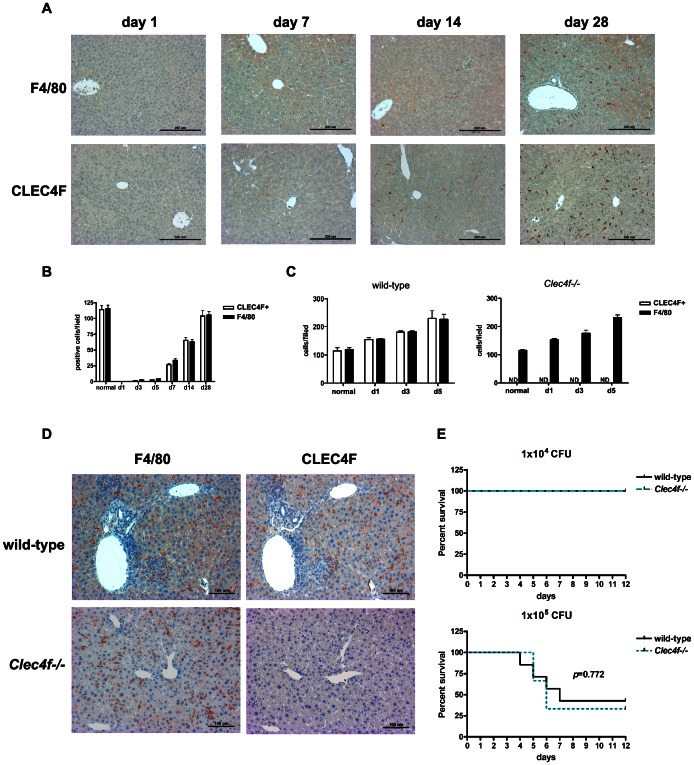 CLEC4F + cells were appeared in the liver environment under Kupffer cell depletion and inflammatory stage. (A) Kupffer cells were depleted by Cl 2 MBP-encapsulated liposome by intravenous injection (100 µl/mouse) at day 0 and livers were harvest at day 1, 7, 14 and 28. F4/80 and CLEC4F immunohistochemistry of liver sections were performed. (B) The numbers of F4/80 + or CLEC4F + cells in livers were shown. For generating inflammatory stage, wild-type and Clec4f−/− littermates were infected with L. monocytogenes (1×10 5 CFU/mouse) intravenously. (C) The numbers of F4/80 + or CLEC4F + cells in livers during L. monocytogenes infection. (D) Immunohistochemistry of L. monocytogenes infected livers of wild-type and Clec4f−/− mice at day 5 after infection. (E) Kaplan-Meier survival curves were shown for Clec4f−/− or wild-type littermates with L. monocytogenes infection. The p value was determined by Log-rank test.
