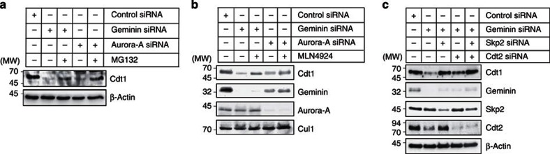 Downregulation of Cdt1 by geminin or Aurora-A mitotic depletion is caused by SCF Skp2 . ( a ) U2OS cells were treated with geminin or Aurora-A siRNA during release from the second thymidine block and collected immediately after release from the Noc block as described in Fig. 4a . Cells were treated with 25 μM MG132 for 5 h before mitotic shake-off. The soluble fraction was separated and immunoblotted for the indicated proteins. MW, molecular weight in kDa. ( b ) U2OS cells were treated with geminin or Aurora-A siRNA during release from the second thymidine block and collected immediately after release from the Noc block as described in Fig. 4a . Cells were treated with 1 μM MLN4924 for 2 h before mitotic shake-off. The soluble fraction was separated and immunoblotted for the indicated proteins. ( c ) U2OS cells were treated with geminin siRNA, with or without Skp2 or Cdt2 siRNA, during release from the second thymidine block and collected immediately after release from the Noc block as described in Fig. 4a . The soluble fraction was separated and immunoblotted for the indicated proteins. MW, molecular weight in kDa.